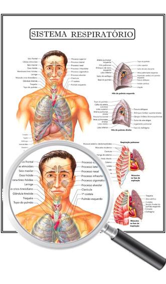Poster Anatomia Enfermagem Sistema Respiratório 45x60 Cm