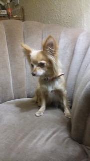 Perro Chihuahua Dorado Pelo Largo Miniatura