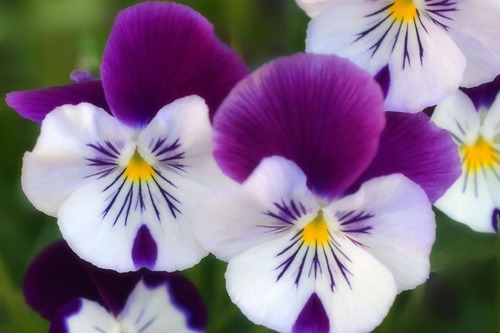40 Semillas Flor Pensamiento Blanco Suizo+ Obs Germinación
