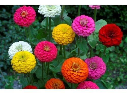 18 Semillas Flor Zinnia Enana Mezcla + Obsequio Germinación