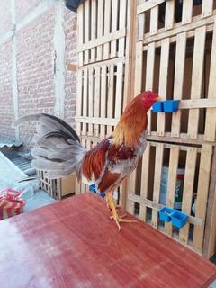 Gallo Fino 11 Meses Pollonero