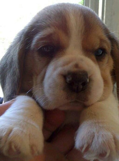 Cachorros Beagle Exelente Calidad!!!