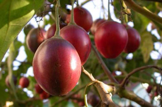 40 Semillas De Tamarillo O Tomate De Árbol ,fruta Muy Rara