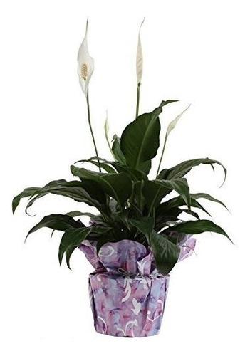 Costa Granjas Spathiphyllum Lirio De Paz Planta Viva De Inte