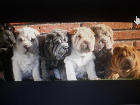 Shar Pei Cachorros Premium La Mejor Reputación
