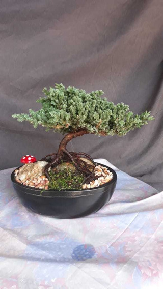 Bonsai Con Decoraciones Esclusivas