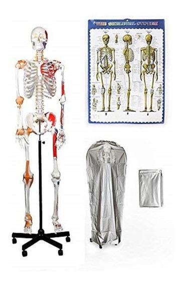 Esqueleto Humano Adulto Muscular Tendones Numerado