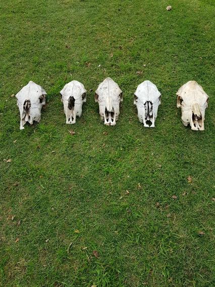 Cráneo De Vaca - Huesos - Cabeza - Cuernos