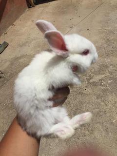 Conejos Reproductores