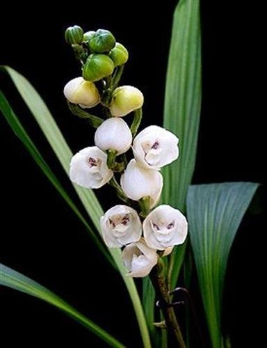 Orquídea Peristeria Elata Espírito Santo Porte Maior Mercado Livre