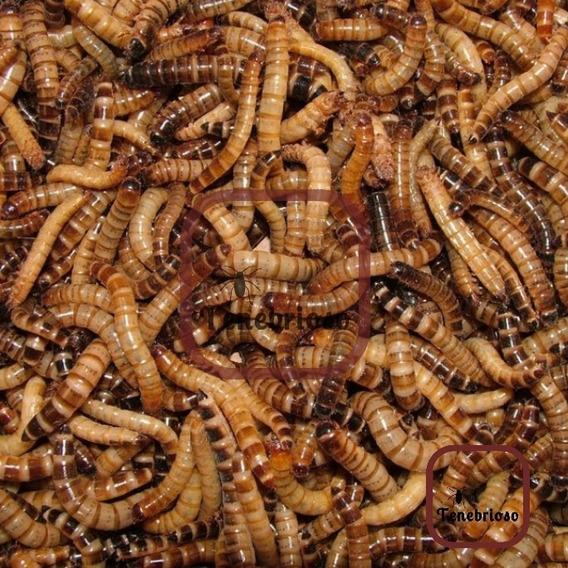 100 Larvas Tenebrio Gigante - Frete Grátis Br