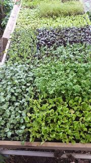 Plantines Para Huerta Organica O Hidroponica Pack X 10 Uni.