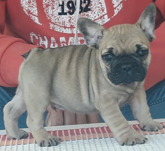 Bulldog Frances Con Fca Entrego Yaa!!!!