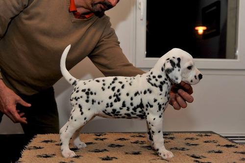 Cachorros Dalmatas A-1,  Padres Importados