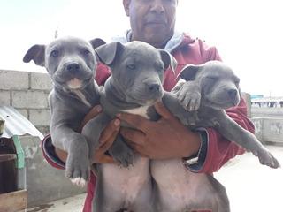 Vendo Hermosos Cachorros Pitbull Blue Nose Envíos A Todo El