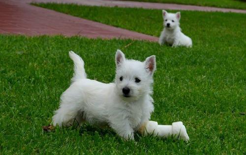 Autenticos Cachorros West Highland Terrier Calidad A-1