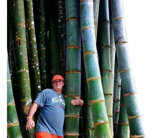 Sementes Bambu Gigante Mosso Moso Phyllostachys Frete Grátis