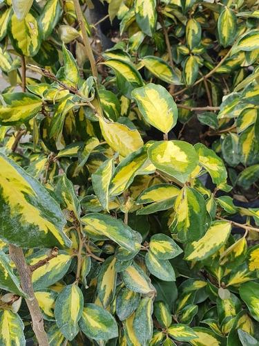 Eleagnus Dorado, Arbustos, Paisajismo