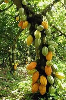 1 Mazorca De Cacao. Semill Fresca Para Sembrar.