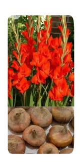 30 Bulbo Semilla Gladiola Rojo Borrego Listo Para Sembrar