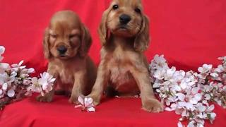 Cachorros Cocker Spaniel Dorados!