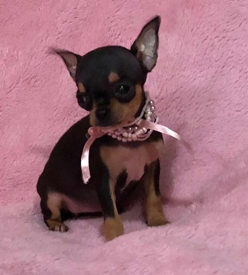 Chihuahua Mini Tricolor