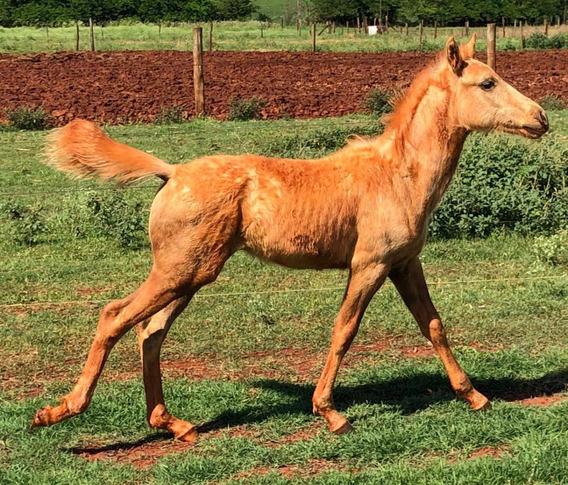 Cavalos Da Raça Paint Horse Puro E Registrado -vendo.