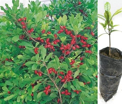 Planta De Fruta Milagrosa Synsepalum Dulcificum En Ecuador