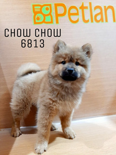Chow Chow 6813 Pachuca ***solo Apartado***