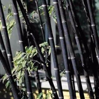 Bambu Negro 10 Semillas