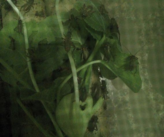 Grilos Ninfas 130 Unidades- Alimento Vivo