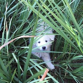 Cachorro Filhote Maremano Abruzzês Puro, Sheepdog, Pastoreio