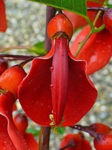 Ceibo Rojo-autoctono-flor Nacional Del Uruguay.