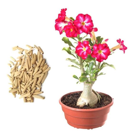 Rosa Do Deserto 20 Sementes Adenium Cores Diversas Flor Mix