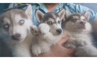 Cachorros Husky Lobo Siberiano Rojo Y Gris
