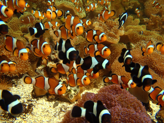 Peixe Palhaço- Ocelaris- Nemo (frete Incluso Acima De 6 U.)