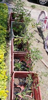 Plantas De Chiles