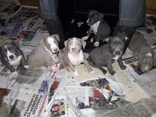 Remato Cachorros Pitbull Blue Y Bully Con Vacuna Y Cartilla