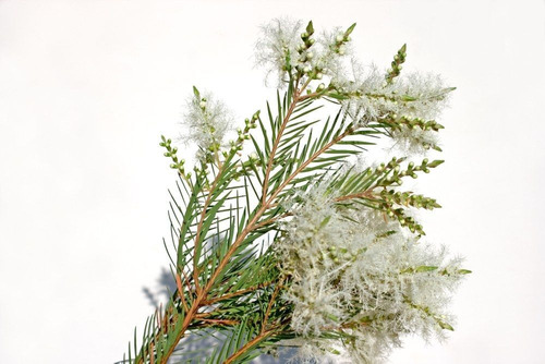 200 Sementes Melaleuca Alternifolia Tea Tree + Frete Gratis
