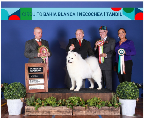 Samoyedo Reserva Cachorro Otoño 2020 Calidad +pedigrí + Gara