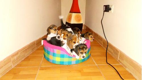 Imagen 1 de 7 de Cachorros Beagle Tricolor Hembras