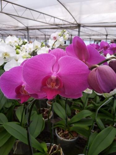 Orquideas Phalaenopsis Premium Villa Urquiza
