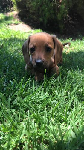 Cachorros Salchicha Miniatura Pelo Corto