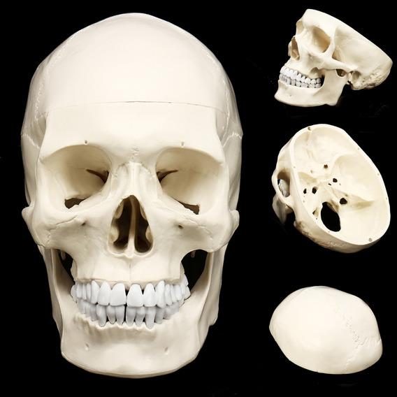 1:1 Humana Anatómica Anatómica De La Cabeza De La Resina Esq