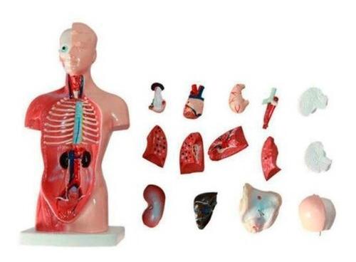 Imagen 1 de 8 de Cuerpo Humano Anatómico Médico / Órganos Internos / 28 Cm