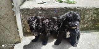 French Poodle Cachorro Un Mes Y Medio Totalmente Sanitos