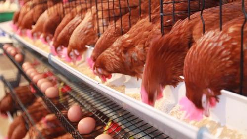 Gallinas Ponedoras+ Producción Huevos Pollos