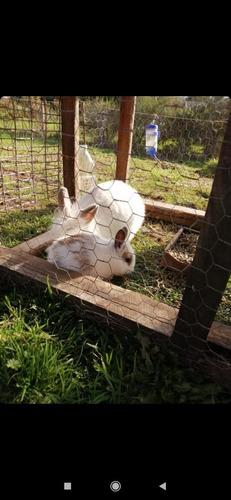 Conejos Cabeza De Leon Enano