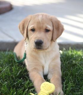 Cachorros Labrador Encantadores Entrenados En Casa Disponibl