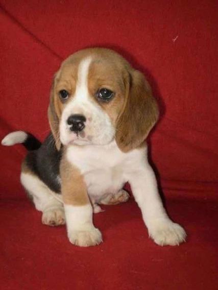 Beagle Cachorros Exelente Pedigree De Fca